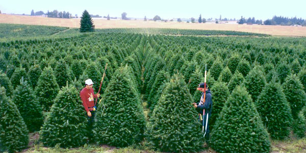 Douglas Fir (Pseudotsuga Menziesii) Remains One Of The Most Popular Christmas  Tree Species. It Naturally Grows To A Wide Based Cone Shape With Rich Green  To ...