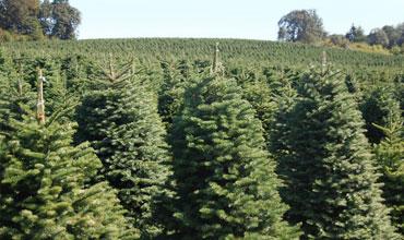 cultivamos acres que nos en abeto noble abeto de douglas y rboles de navidad del abeto de nordmann